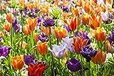Extra Large Bulb Size - 50 Dutch Grown Tulip Bulbs - Late...