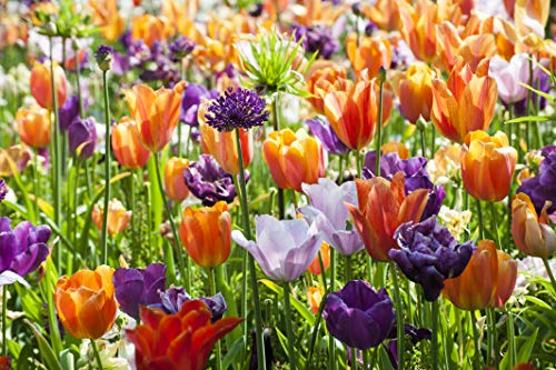 Extra Large Bulb Size - 50 Dutch Grown Tulip Bulbs - Late Spring Flowering - Fall Planting - Single Late - Mixed Colours
