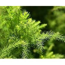 1Bag=30pcs hot sale CHINESE BAMBOO seeds rare Asparagus Fern mini tree seeds clean air seeds bonsai decoration Home & Garden