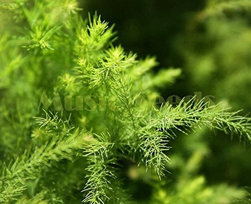1Bag=30pcs hot sale CHINESE BAMBOO seeds rare Asparagus Fern mini tree seeds clean air seeds bonsai decoration Home & Garden SVI