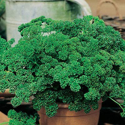 100 Seeds Parsley (Moss Curled) Comb Herb