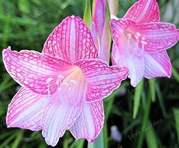 2 Zwiebeln Amaryllis Birnen Wahre Rosa Hippeastrum Zwiebeln Blumen