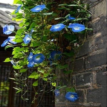 100 piezas semillas de petunia Negro escalada semillas de flores de melisa originales flores perennes para
