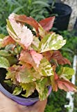 2 Acalypha Wilkesiana Copperleaf - 4 Inches Pot 2 Live Plants An002