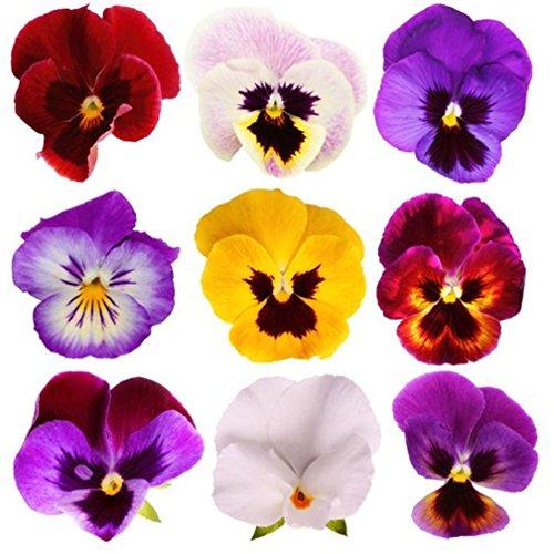 Viola Flower (Giant Pansy Viola Flower Mix Color 200 Seeds)