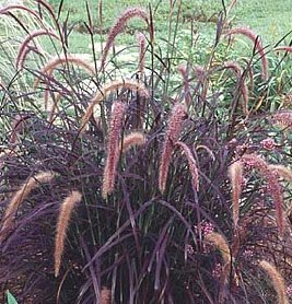 (Seeds*Bulbs*Plants*&More Pennesetum Purple Fountain Grass Perennial Ornamental Grass Plant )