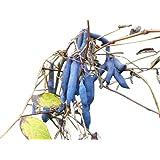 Blaugurkenbaum Decaisnea fargesii 10 Samen (Winterhart) Blauschote