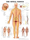 The Spinal Nerves 3D Raised Relief Chart, Anatomical Chart Company Staff, 1587794489