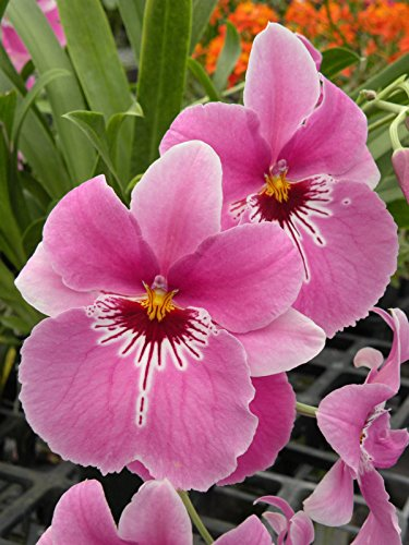 Miltoniopsis Lover's Point 'Kalapana' Orchid in Spike! Oncidium - Orchid Oncidium Care