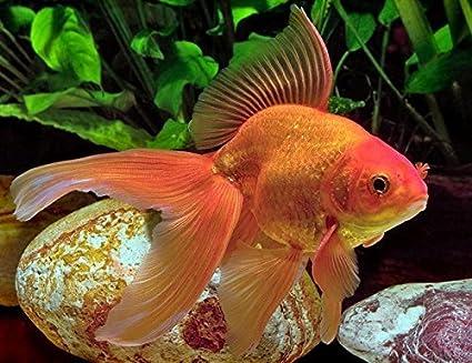 Amazon Com Fantail Goldfish 2 3 Live Freshwater Aquarium Fish