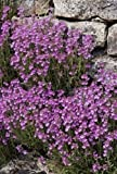 50+ Lilac Color Rock Cress Aubrieta Flower Seeds / Perennial