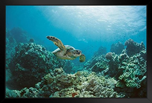 Sea Turtle Swimming Near Coral Reef Photo Art Print Framed Poster 20x14 inch