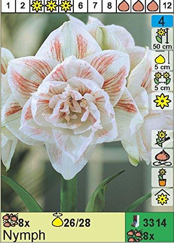 Ritterstern Amaryllis Hippeastrum Nymph Das Blumenliesel