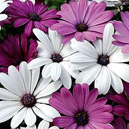 Amazon 20 White Purple African Daisy Mix Flower Seeds