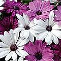 20+ White & Purple African Daisy Mix Flower Seeds / Perennial