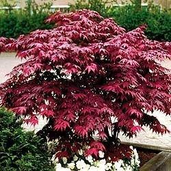 Japanese Red Maple Tree (2 feet tall)
