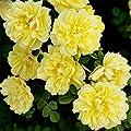 super1798 100 Pcs Climbing Rose Seeds Garden Balcony Fences Decor Plants Flowers