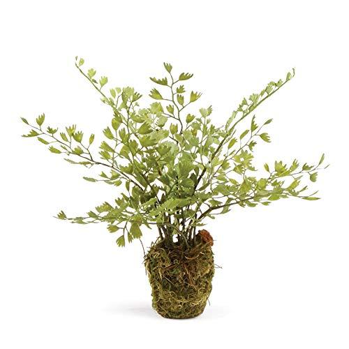 """Napa Home & Garden Conservatory Maidenhair Fern Drop-in 9"""""""