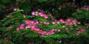 Hot!50 pcs Albizia Julibrissin Tree Seeds 2015 Charming Chinese Flower Seeds Bonsai Plants for Garden Wholesale Price Free Shipp