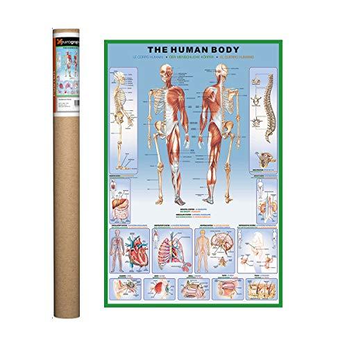 EuroGraphics Human Body Poster, 36 x 24 inch