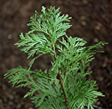 Incense Cedar aka Calocedrus decurrens Live Plant Fit 5 Gallon Pot