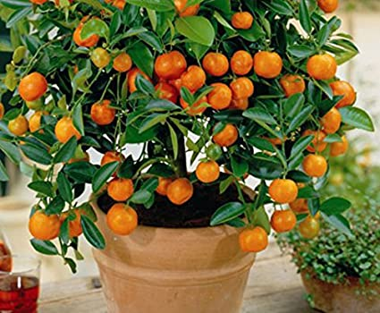 Mandarin Orange Tree Image