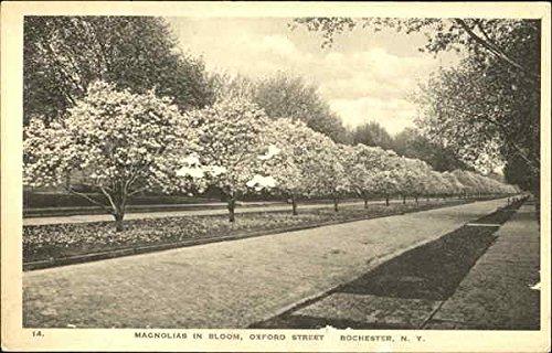 Magnolias In Bloom, Oxford Street Rochester, New York Original Vintage - Sibley Magnolias