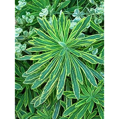 Perennial Farm Marketplace Euphorbia m. 'Ascot Rainbow' (Spurge) Perennial, 1 Quart, Greenish Yellow Flowers: Garden & Outdoor