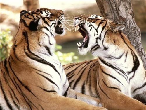 - BENGAL TIGERS GLOSSY POSTER PICTURE PHOTO cincinnati detroit jungle animals