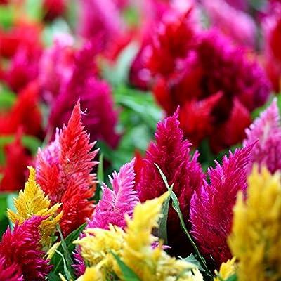 Plumed Cockscomb semillas mezcladas - Celosia argentea plumosa: Amazon.es: Jardín