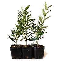 9Greenbox Tree of Peace, Olive Tree-Olea Europaea, 4 Pound (Pack of 6)
