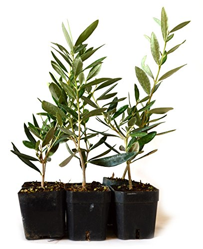 9greenbox tree of peace olive tree olea for Olive plant care