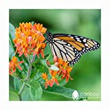 Caribou Seed Company: Perennial Butterfly Milkweed, 20 Seeds - Attracts Monarch Butterflies, High Germination, Fresh Canadian Seed