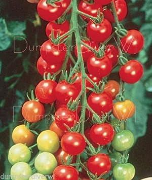 Sweetie Tomate 50 + semillas Orgánica Azúcar dulce vigorosas Cherry tamaño non-gmo: Amazon.es: Jardín