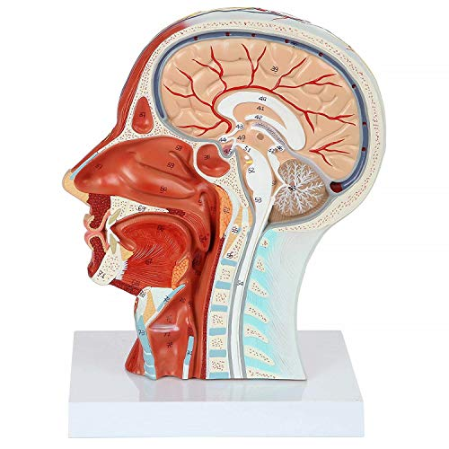 Alkita Head Replica Features Muscular Anatomy Veins and Arteries Exposed Sinuses Brain Anatomy and Spinal -