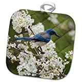 3dRose Danita Delimont - Songbirds - Western Scrub Jay in a Mexican Plum tree, Hill Country, Texas - 8x8 Potholder (phl_279583_1)