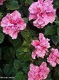 Hibiscus mutabilis - Confederate Rose - 10 seeds