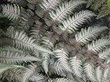 Classy Groundcovers - Ferns, 20% off: 25 Athyrium niponicum 'Pictum' + 25 Osmunda cinnamomea