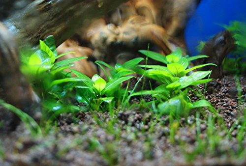 Image of Mainam Staurogyne Repens Carpet Freshwater Bundle Live Aquarium Plant Decorations