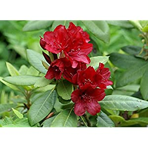 Rhododendron Firestorm #1 Container Size Plant
