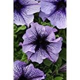 Annual: BLUE DADDY PETUNIA Seeds Blue Veined Blooms High Quality & Germination (30-35 seeds)