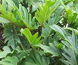 "9EzTropical - Philodendron Xanadu - 2 Plants - 1 Feet Tall - Ship in 4"" Pot"