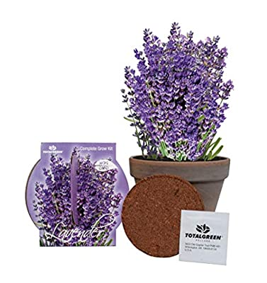 TotalGreen Holland Grow Fresh Lavender Seeds in basalt pot Indoor | Great Gift Item | Grow Your Own Lavender From Seed | Non-GMO Lavender Starter Kit With Easy Instructions | Exclusive Germination Kit