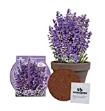 TotalGreen Holland Grow Fresh Lavender Seeds in basalt pot Indoor   Great Gift Item   Grow Your Own Lavender From Seed   Non-GMO Lavender Starter Kit With Easy Instructions   Exclusive Germination Kit