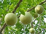 CALABASH TREE (Crescentia cujete) 10 seeds