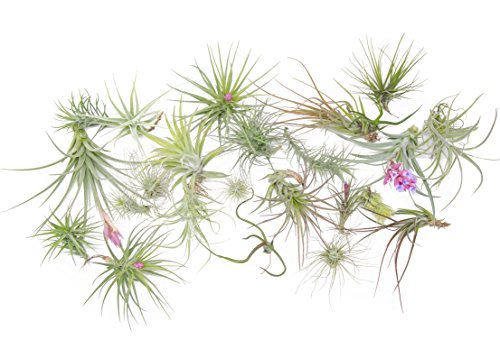 24 Air Plant Variety Pack - Large Tillandsia Terrarium Kit with Spray Bottle Mister for Water/Fertilizer - Assorted Species of Live Tillandsias, 4 to 10 Inch Indoor House Plants by ()