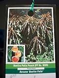 3'-4' Bonfire Patio Peach Fruit Tree Plant Trees NOW Ship To All 50 States USA !