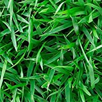 Sementes De Grama Esmeralda Americana 500g (SEMENTES 100% PURAS)