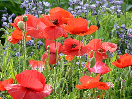 (Red Corn Poppy Flower Seeds (Papaver Rhoeas), Pack of 100,000+ Seeds by)