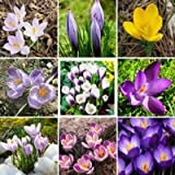 Saffron Flower Seeds,Saffron Crocus 20 Seeds/bag